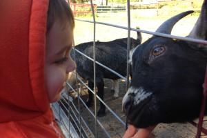 Making a new friend at Silverman's Farm.